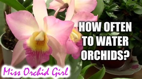 top 28 how often should i water my orchid orchid care tips how often you should water