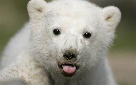 imagenes de osos wallpaper polar bear full hd wallpaper and background image