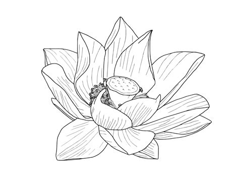Lotus Flower Outline Rooweb Clipart Lotus Flower Outline