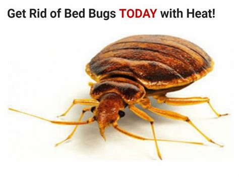 what temperature do bed bugs die bed bugs dead bugs inc opening hours 714 pharmacy