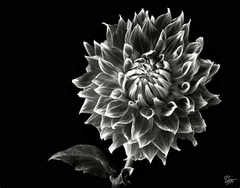 Dahlia Syari Black starburst dahlia in black and white photograph by endre balogh