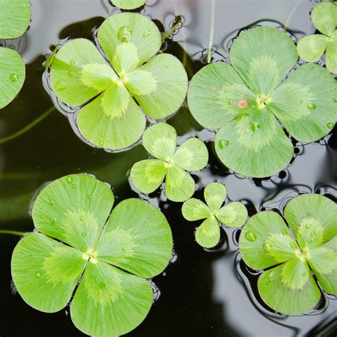 three leaf clover plant water clover plant four leaf clover plant the pond