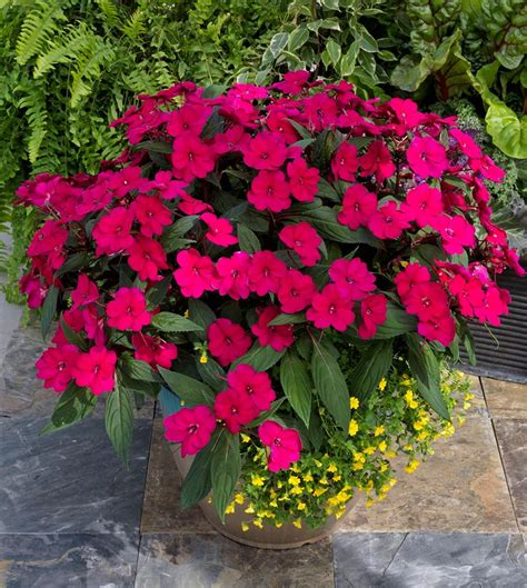 Annuals For Planters by Best Flowering Annuals For Sun And Shade Annual Flowers