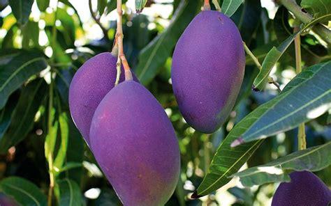 tropical fruit trees for sale uk mango bonita springs tropical fruit club