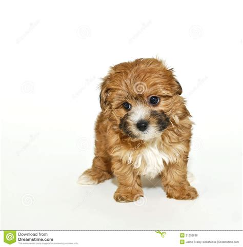 yorkie poo calendar sweet yorkie poo puppy royalty free stock photos image 21252638
