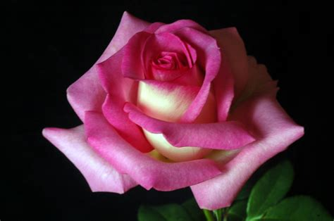 rose s a rose is a rose roses photo 20581062 fanpop