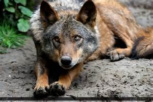 Wolf Wolf Iberian Wolf 18 By Canisography On Deviantart