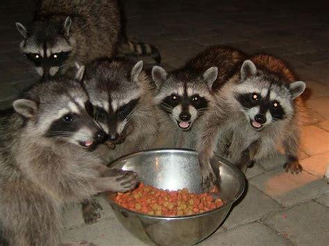 raccoon medicine doowans news events