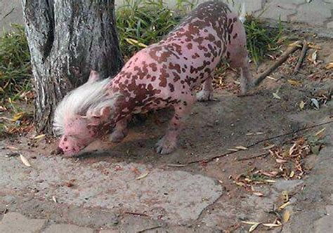 film cina colera genetically modified pig terrifies chinese city as