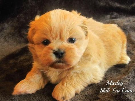 teacup puppies for sale in alabama shih tzu alabama breeder of and shih tzu puppies