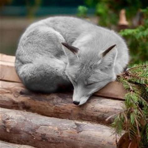 a silver fox this is the most gorgeous fox i ve ever seen