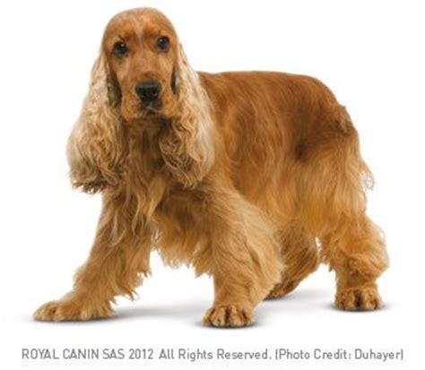 golden cocker retriever price 17 best images about hyderabad dogs and puppies for sale on chihuahua
