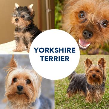 what were yorkies bred to do breed post terrier the inside scoop