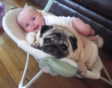 pug babies a subreddit for babies and pugs