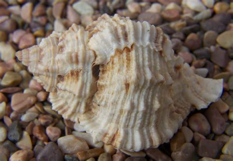 Seashell L by Pictures Of Seashells Brown White Seashell