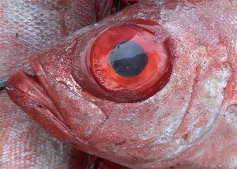 L Eye Fish by Free Stock Photos Rgbstock Free Stock Images