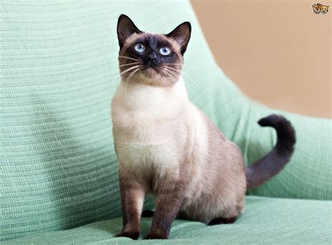 7 Gorgeous Breeds of Colourpoint Cats   Pets4Homes