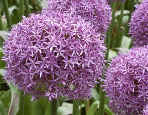 fiori a palla viola fiori viola fiori e foglie