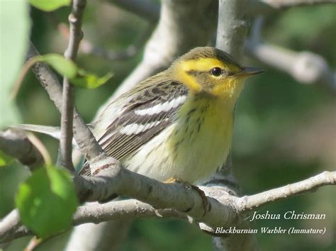 wild birds unlimited photo share warblers and gnatcatcher