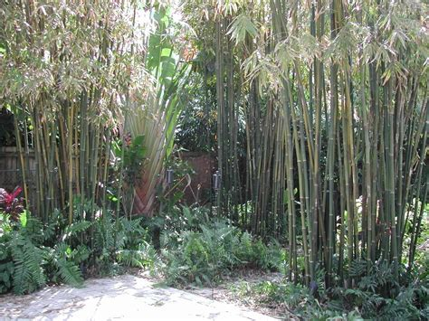 panoramio photo of tropical bamboo landscaping