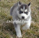 pomsky puppies for sale in az are you looking for information about pomsky breeders or trying to find pomskies for