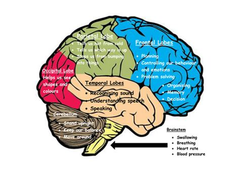 brain sections and what they do my brain the 6 parts of the brain and what they do by