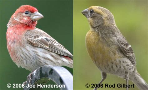 red house finch house finches red and yellow birdnote