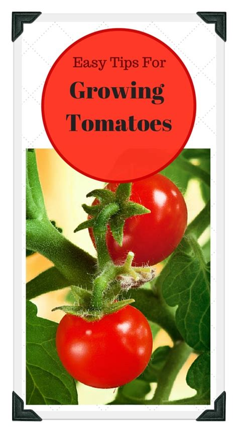 growing tomatoes in your vegetable garden