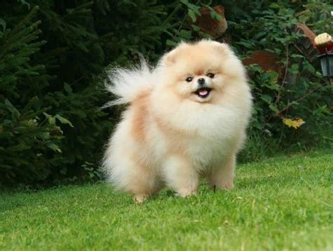 pommania pomeranians 1272 best images about pomeranians on cutest dogs puppys and