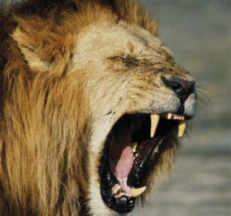 161 top 10 ataques de animales a personas imagenes fuertes top 10 ataques de leones a humanos retube videos