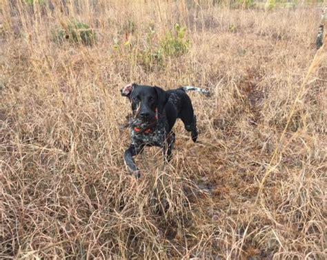 german shorthaired pointer puppies nc puppies for sale creek preserve llc