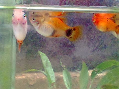 Makanan Ikan Hias Platy cara membudidayakan ikan sate platy