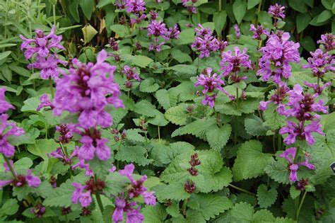 Flowering Shrubs With Purple Flowers - stachys macrantha landscape architect s pages