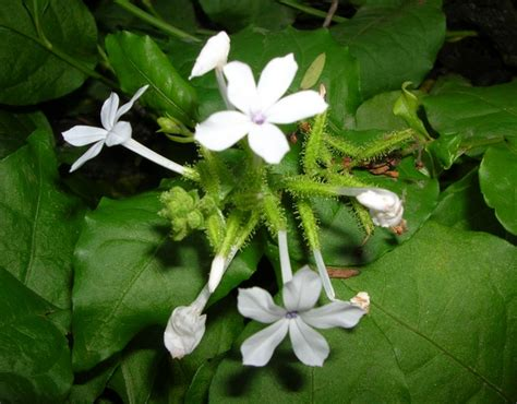tanaman encok bibitbungacom