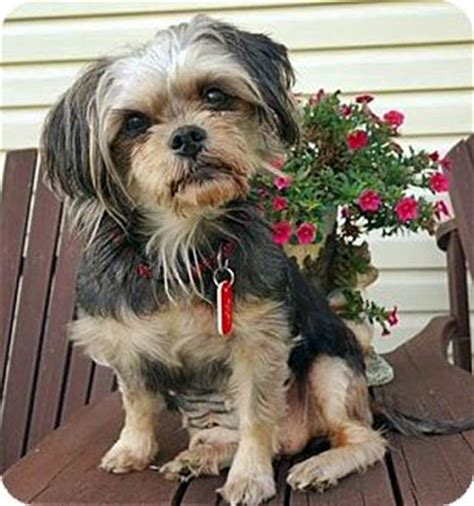 yorkie rescue toronto adopted toronto on yorkie terrier mix