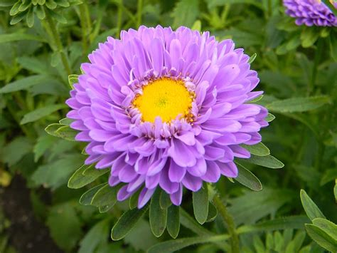 aster fiori aster flowers