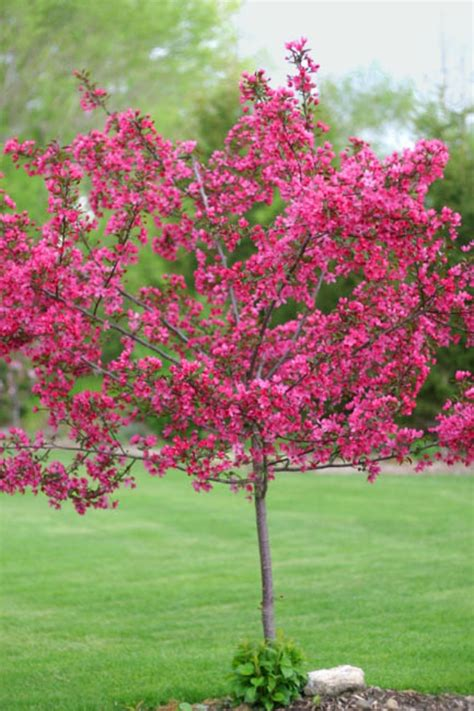 Wedding Bouquet Crabapple Tree by Prairie Crab Apple Trees Chris Bowers