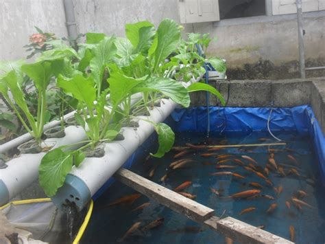 membuat filter aquarium dari pvc aquaponic filter media aquaponic free engine image for