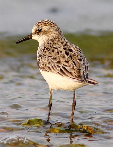 sandpiper portrait by robert frederick