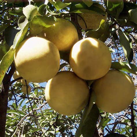 grape fruit tree 3 4 year marsh grapefruit tree