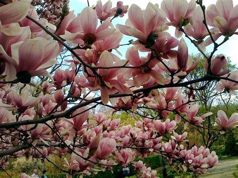 alberi da fiore ornamentali alberi da fiore da giardino piante da giardino alberi