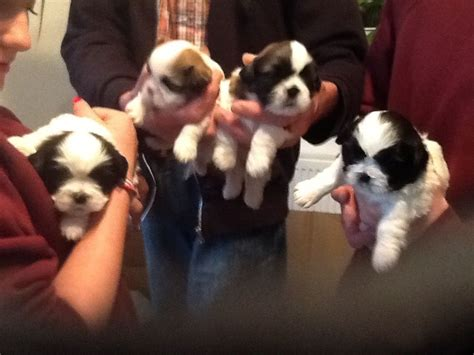 shih tzu puppies for sale in bristol adorable shih tzu puppies for sale bristol bristol pets4homes