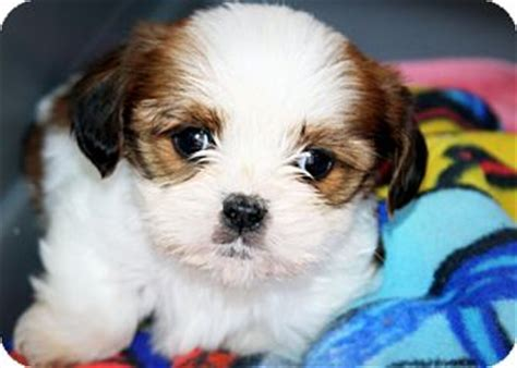 shih tzu king charles mix adopted puppy dallas tx shih tzu cavalier king charles spaniel mix