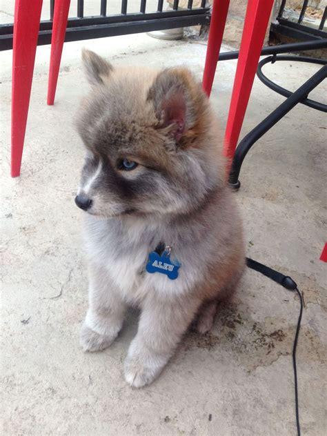 pomeranian husky wiki pomsky puppy pomeranian husky aww
