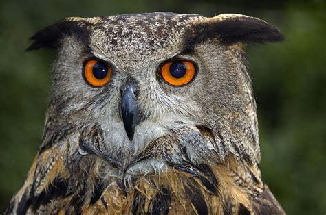 Eagle Decor Owl Bubo Bubo Portrait Photograph By Matthias Hauser