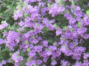 shrub with purple flowers our desert is cascading with purple flowering bushes tjs
