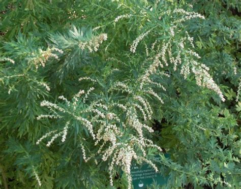 Types Of Soil For Gardening - artemisia vulgaris how to grow mugwort
