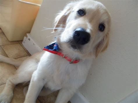 6 months golden retriever golden retriever 6 months clacton on sea essex pets4homes