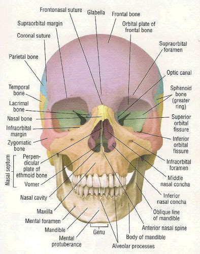 diagram of cranial bones cheshire anthropology here for a minute the next