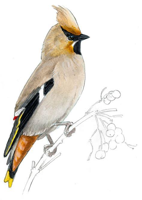 how to draw a bird audubon